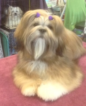gold Lhasa apso on grooming table