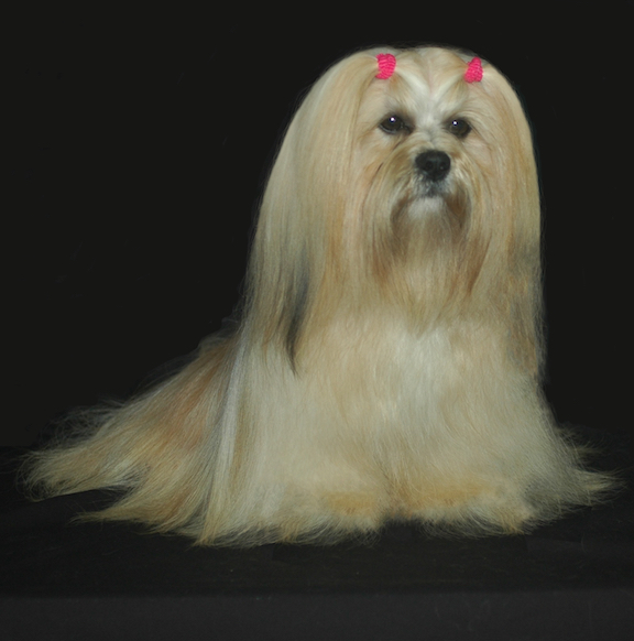 lovely cream lhasa apso sitting