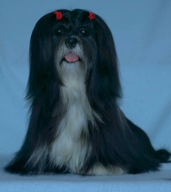 black lhasa sitting