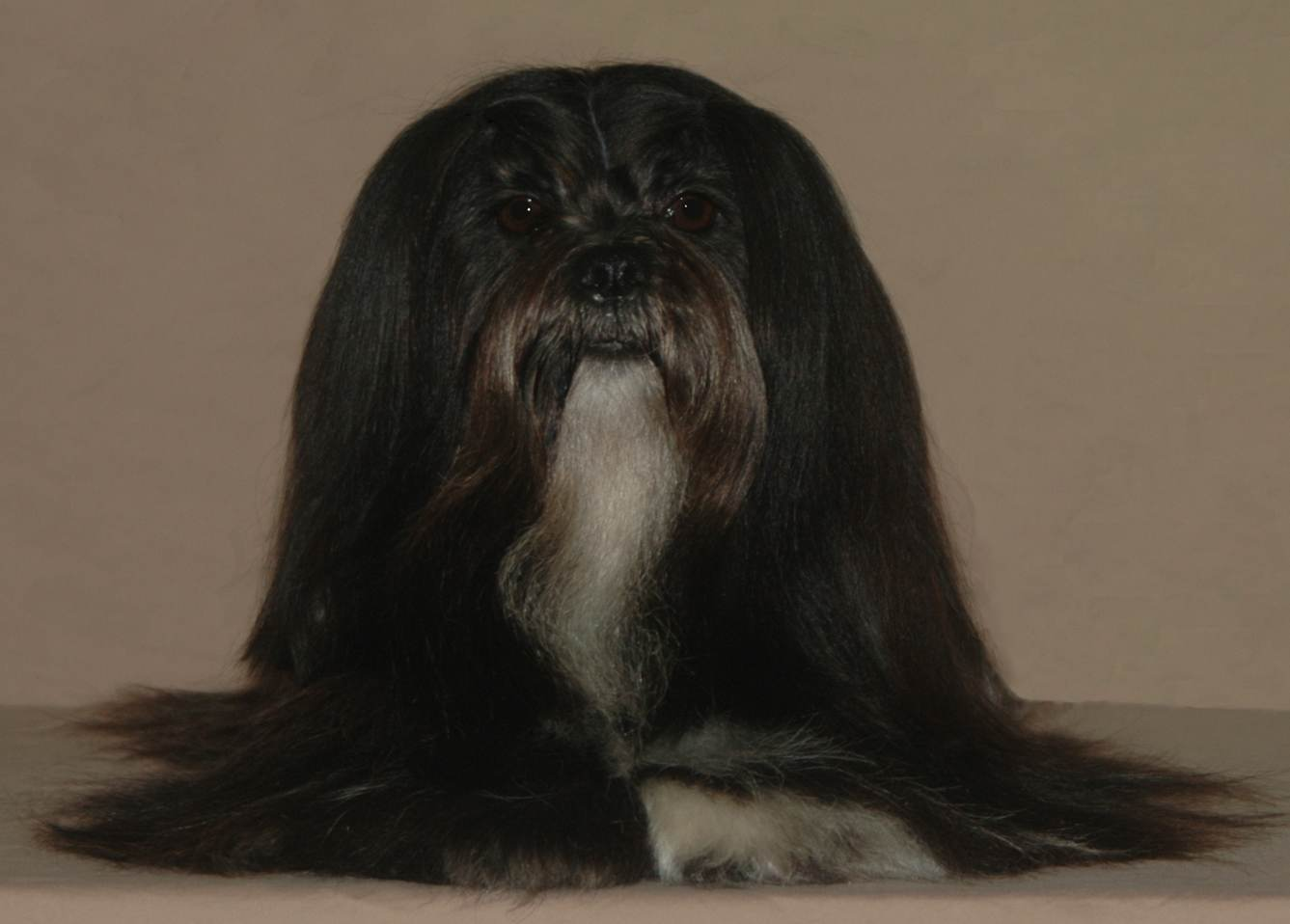 black lhasa apso face