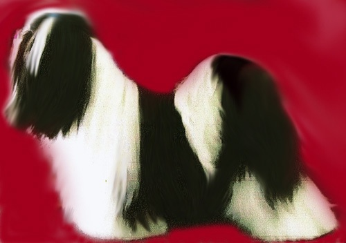 black and white particolor Lhasa