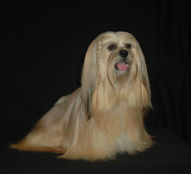 lt gold Lhasa sitting
